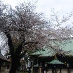 妙法寺の桜。